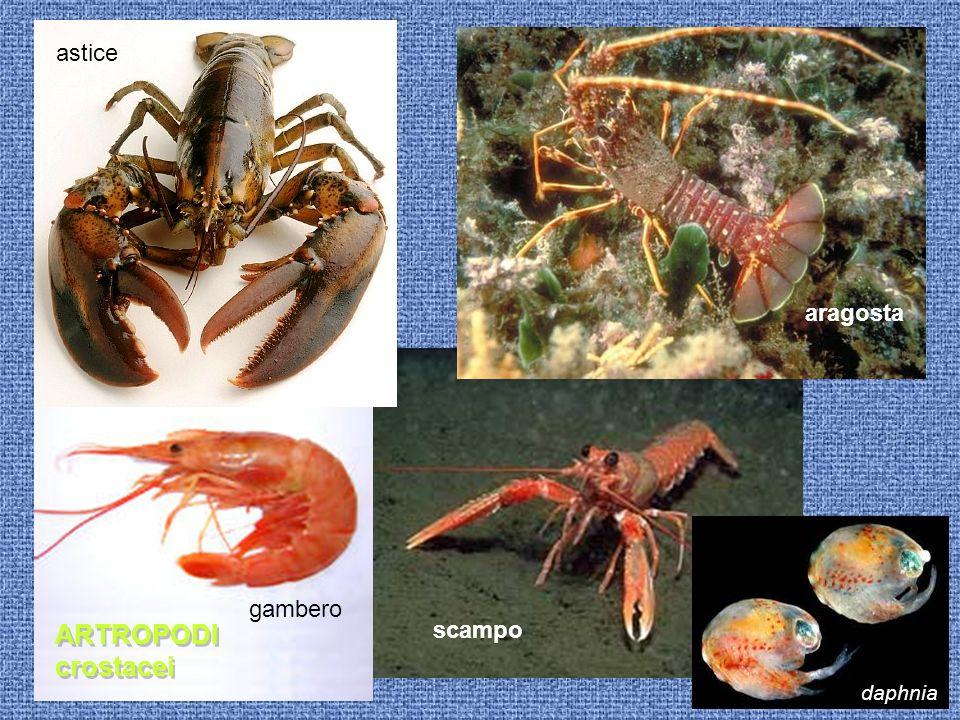 astice aragosta gambero ARTROPODI crostacei scampo daphnia