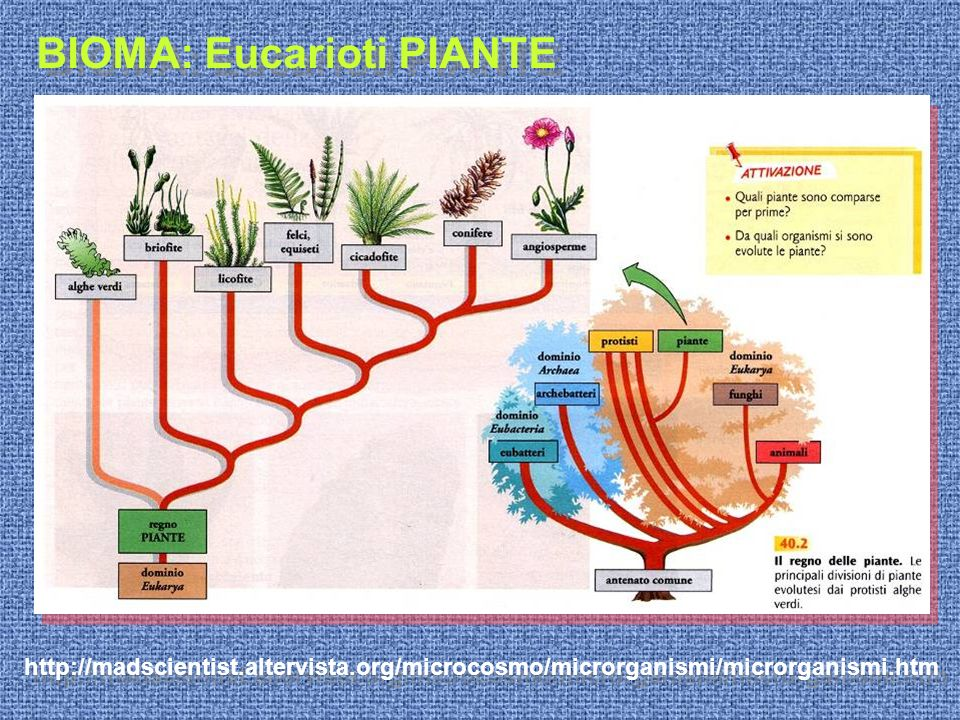 BIOMA: Eucarioti PIANTE