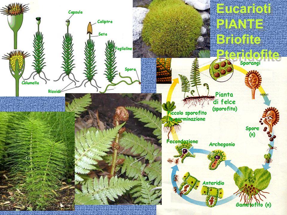 Eucarioti PIANTE Briofite Pteridofite