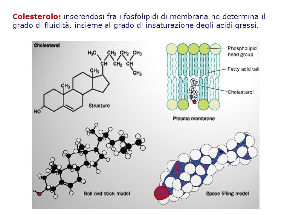Colesterolo: inserendosi fra i fosfolipidi di membrana ne determina il grado di fluidità, insieme al grado di insaturazione degli acidi grassi.