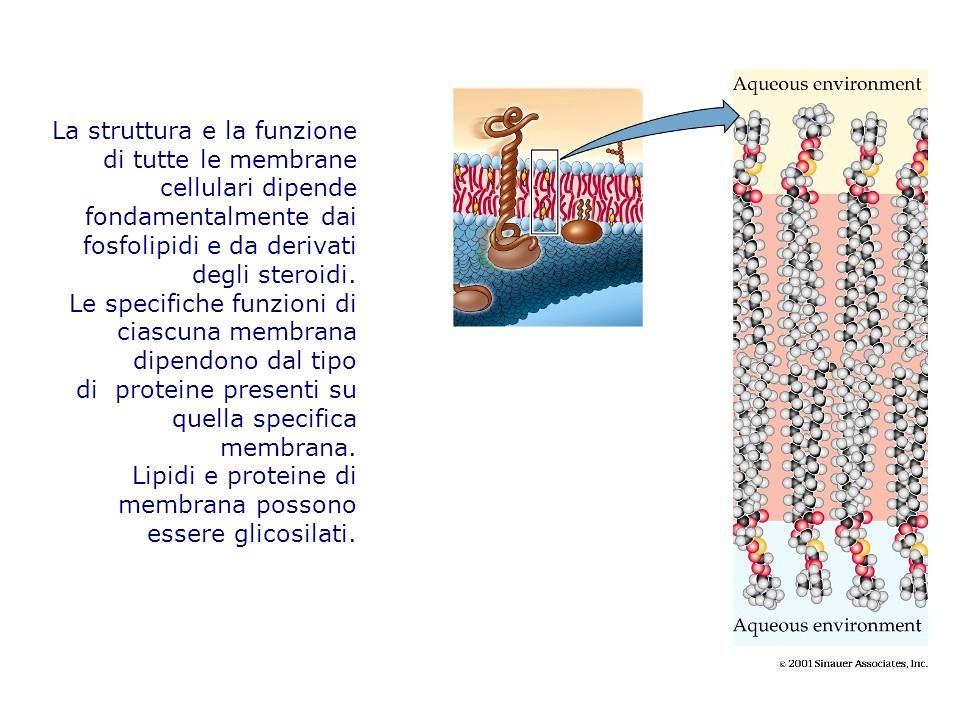 La struttura e la funzione di tutte le membrane cellulari dipende fondamentalmente dai fosfolipidi e da derivati
