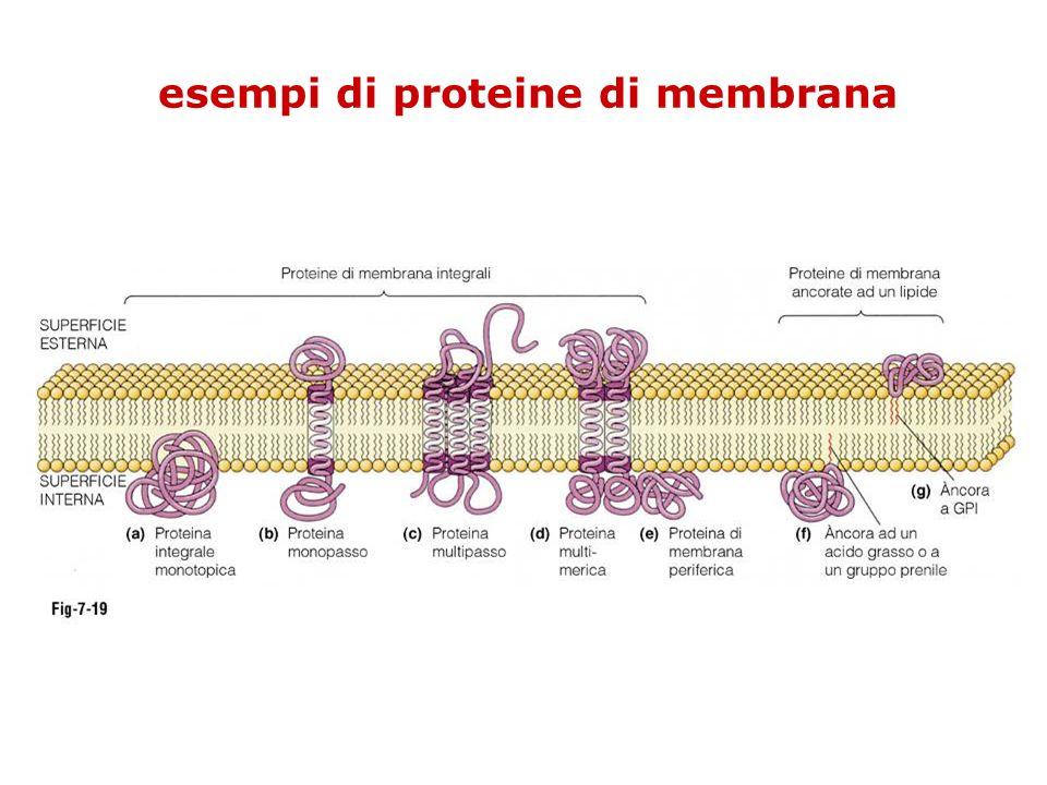 esempi di proteine di membrana