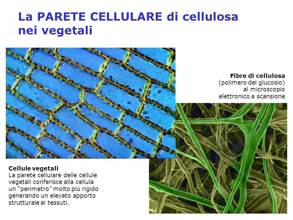 La PARETE CELLULARE di cellulosa nei vegetali