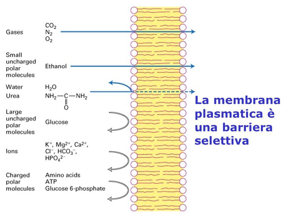 La membrana plasmatica è una barriera selettiva