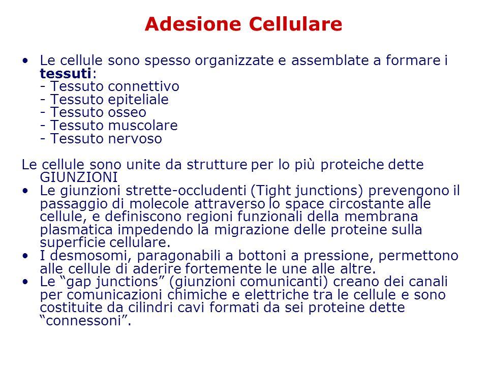 Adesione Cellulare Le cellule sono spesso organizzate e assemblate a formare i tessuti: - Tessuto connettivo.