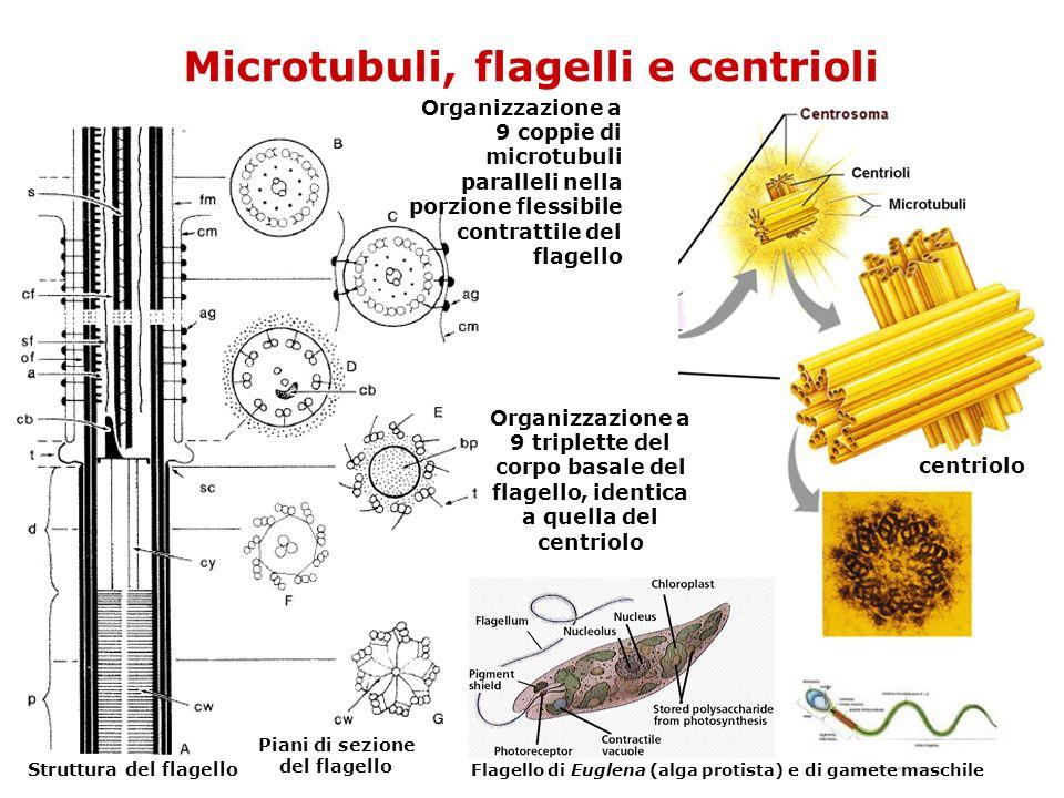 Microtubuli, flagelli e centrioli