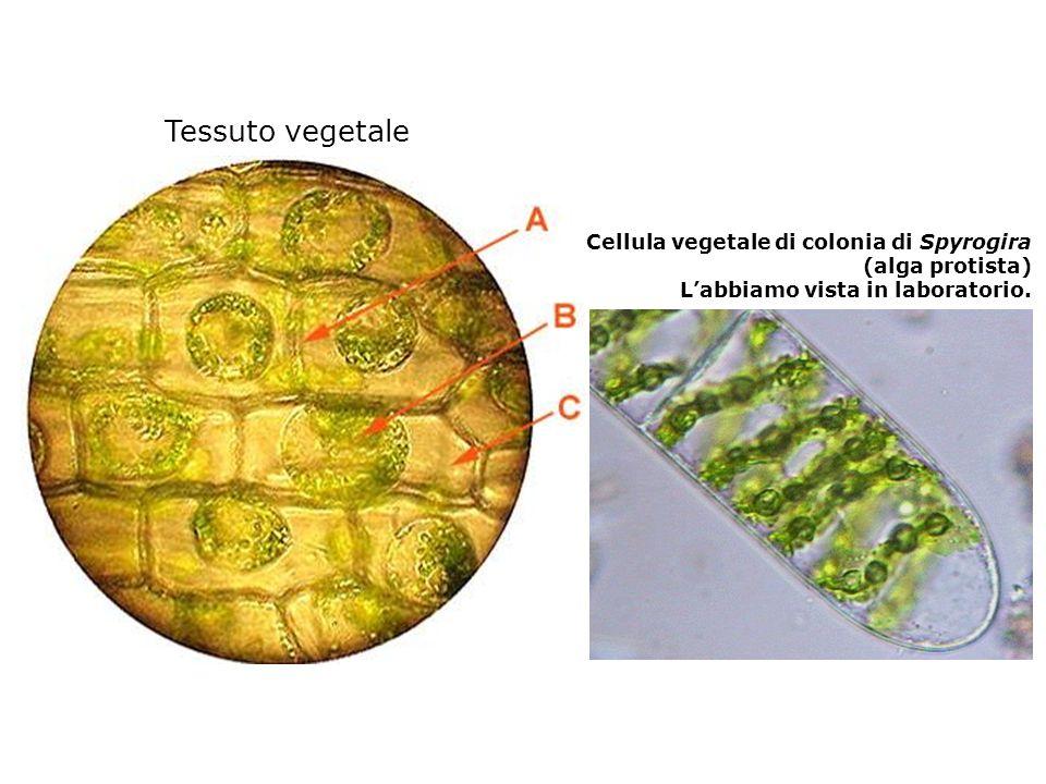 Tessuto vegetale Cellula vegetale di colonia di Spyrogira
