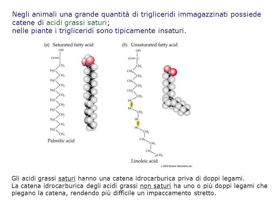 catene di acidi grassi saturi;