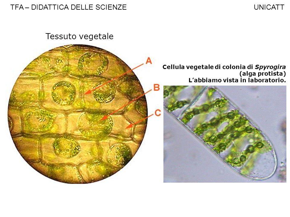 Tessuto vegetale TFA – DIDATTICA DELLE SCIENZE UNICATT