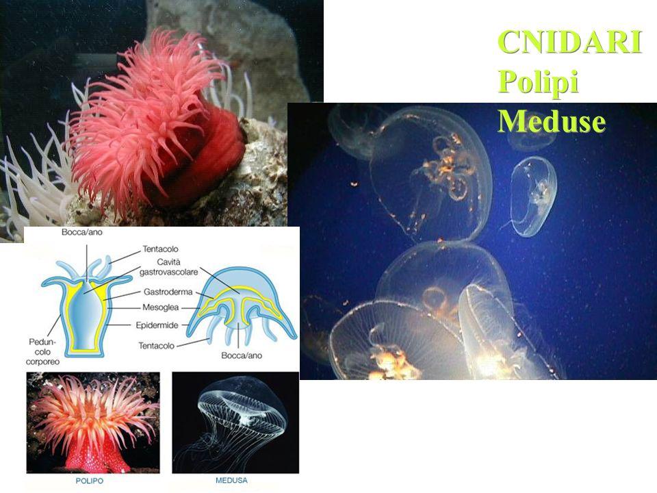 CNIDARI Polipi Meduse