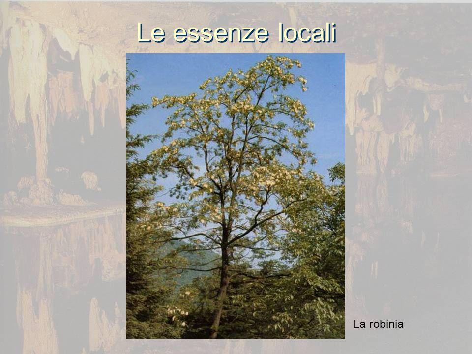 Le essenze locali La robinia