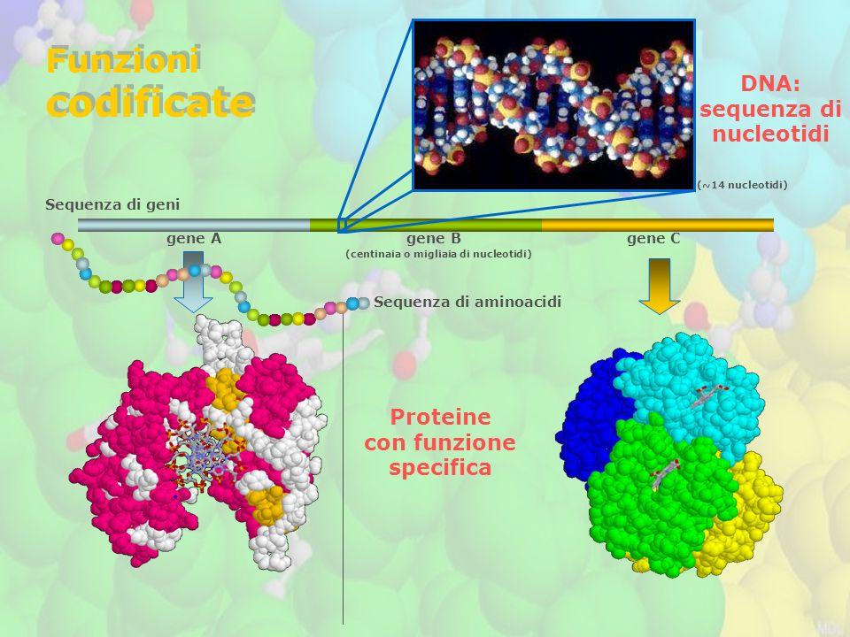 codificate Funzioni DNA: sequenza di nucleotidi Proteine con funzione