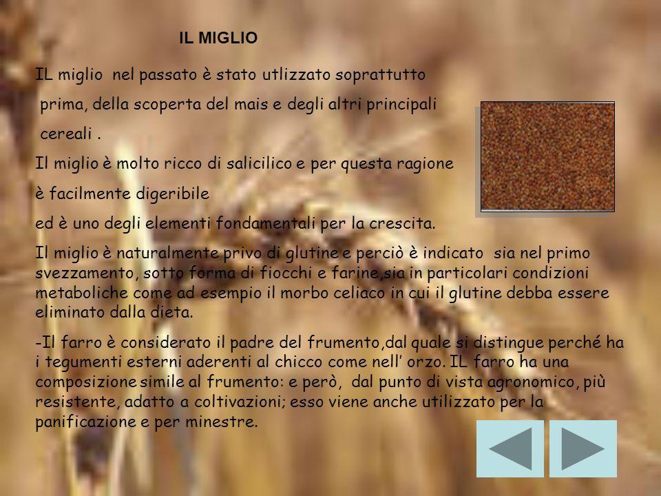 IL MIGLIO IL miglio nel passato è stato utlizzato soprattutto. prima, della scoperta del mais e degli altri principali.