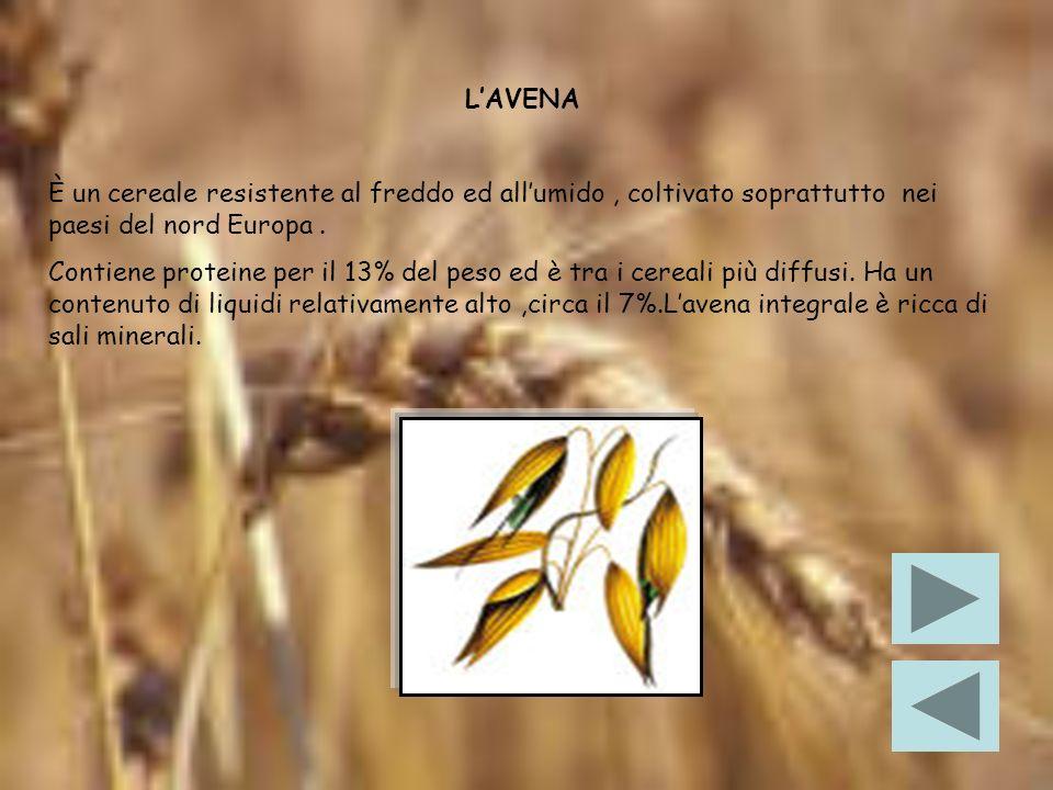 L'AVENA È un cereale resistente al freddo ed all'umido , coltivato soprattutto nei paesi del nord Europa .