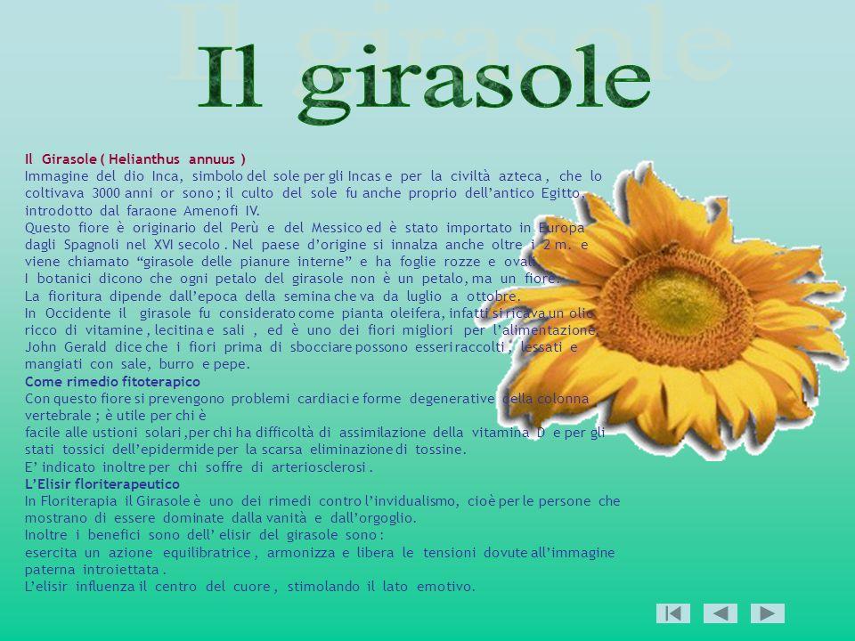 Il girasole Il Girasole ( Helianthus annuus )