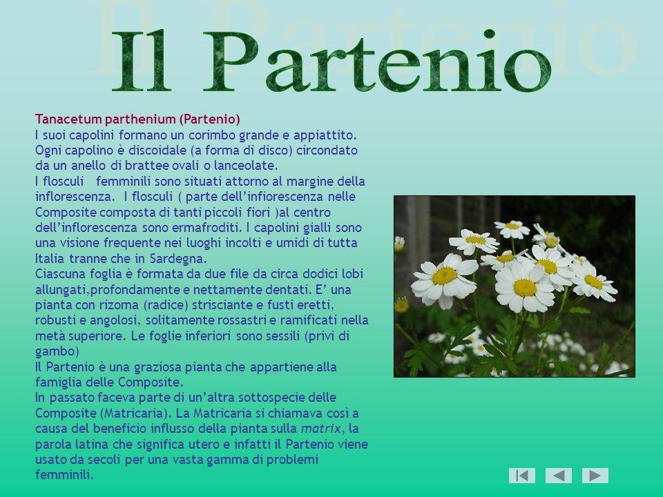 Il Partenio Tanacetum parthenium (Partenio)