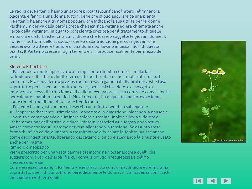 Le radici del Partenio hanno un sapore piccante,purificano l'utero, eliminano la placenta e fanno a una donna tutto il bene che si può augurare da una pianta.