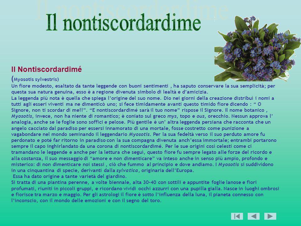 Il nontiscordardime Il Nontiscordardimé (Myosotis sylvestris)