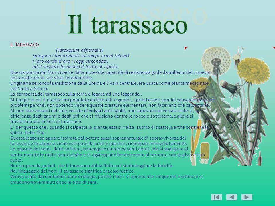 Il tarassaco IL TARASSACO (Taraxacum officinalis)