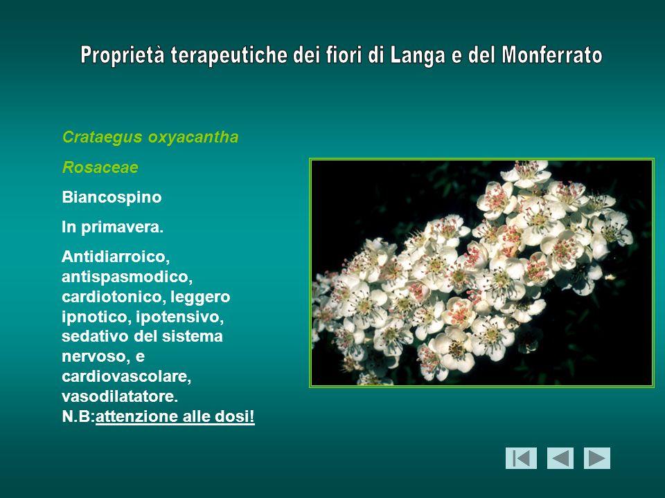 Crataegus oxyacantha Rosaceae. Biancospino. In primavera.