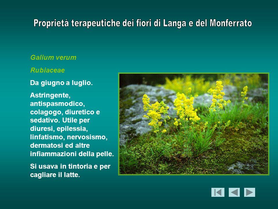Galium verum Rubiaceae. Da giugno a luglio.