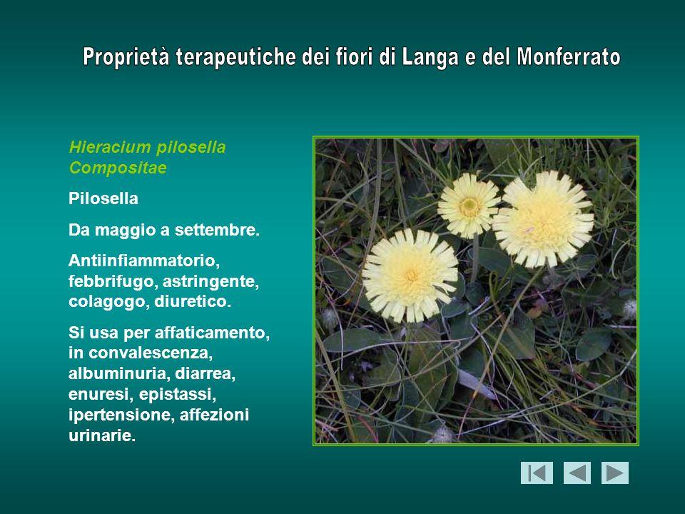 Hieracium pilosella Compositae