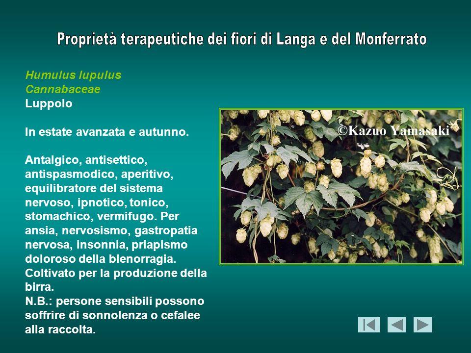 Humulus lupulus Cannabaceae. Luppolo. In estate avanzata e autunno.