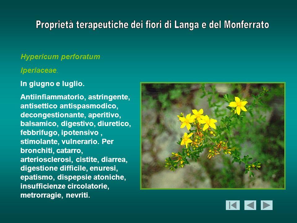 Hypericum perforatum Iperiaceae. In giugno e luglio.