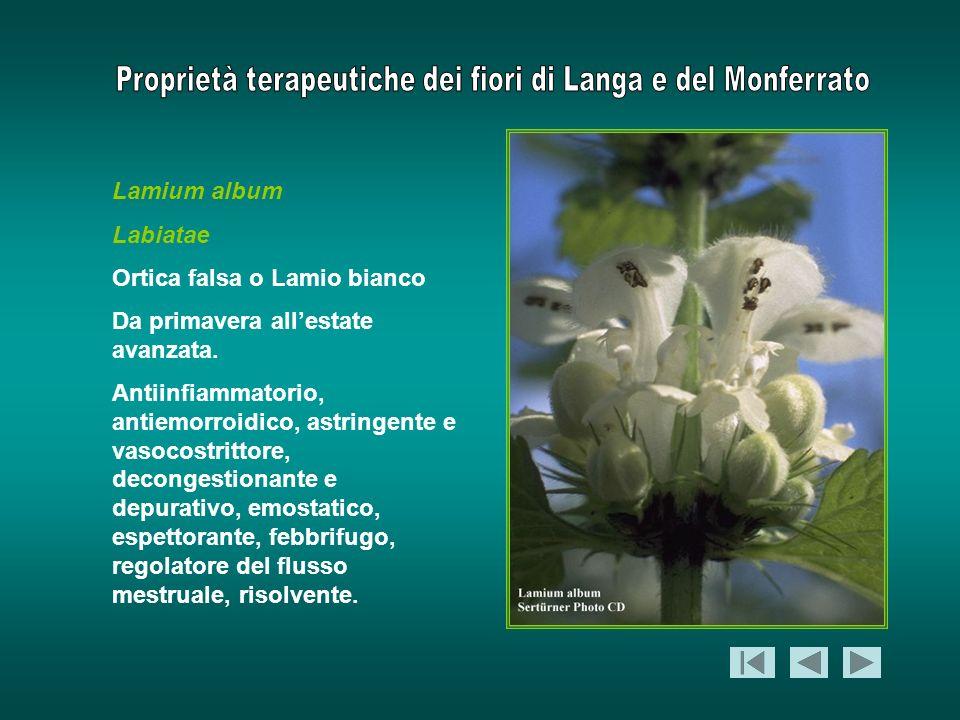 Lamium album Labiatae. Ortica falsa o Lamio bianco. Da primavera all'estate avanzata.