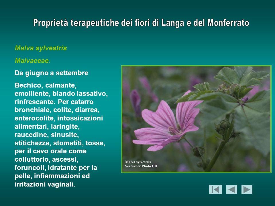 Malva sylvestris Malvaceae. Da giugno a settembre.