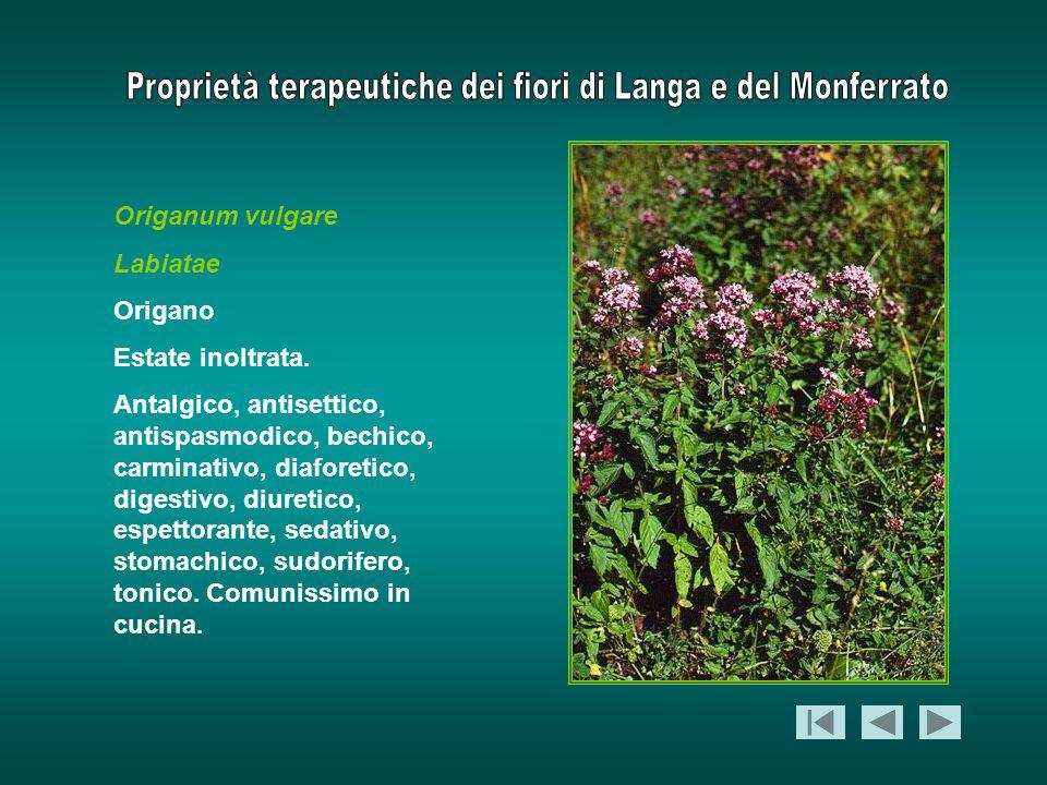 Origanum vulgare Labiatae. Origano. Estate inoltrata.