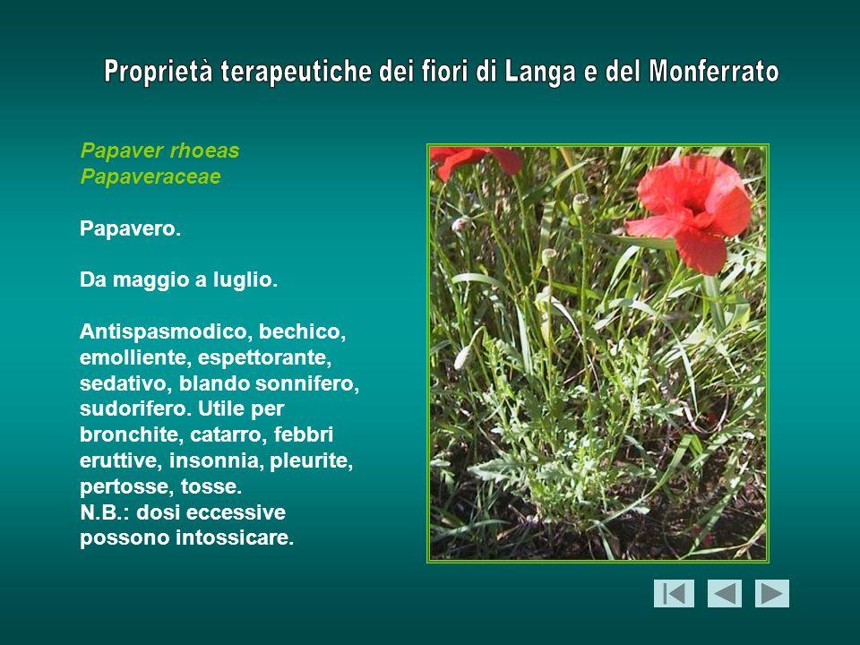 Papaver rhoeas Papaveraceae. Papavero. Da maggio a luglio.