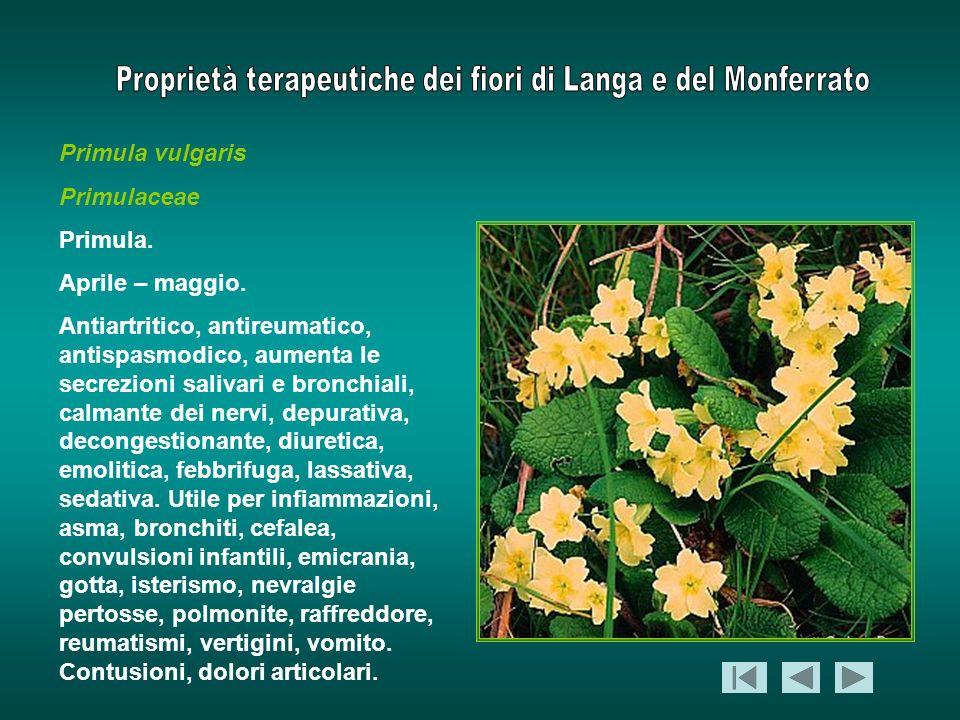 Primula vulgaris Primulaceae. Primula. Aprile – maggio.
