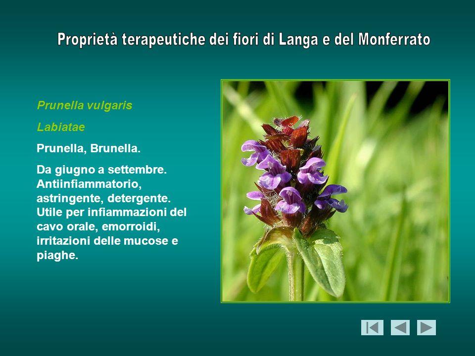 Prunella vulgaris Labiatae. Prunella, Brunella.