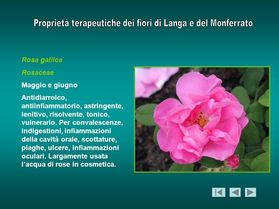 Rosa gallica Rosaceae. Maggio e giugno.