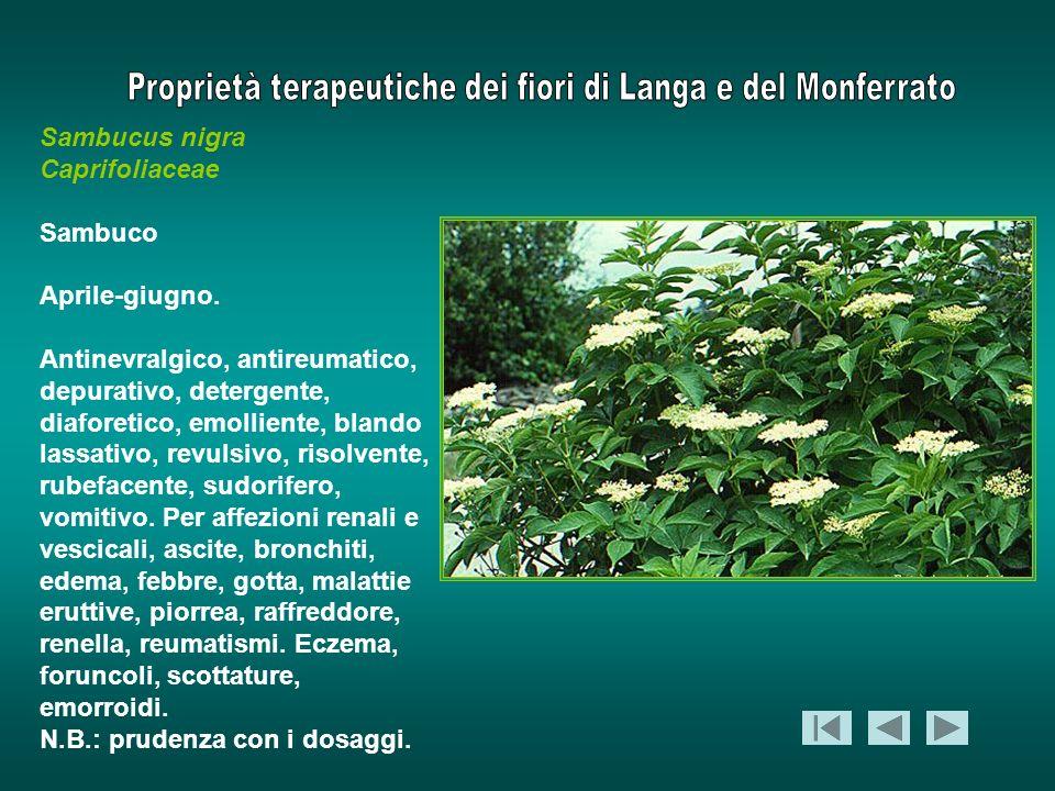 Sambucus nigra Caprifoliaceae. Sambuco. Aprile-giugno.