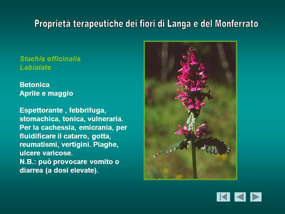 Stachis officinalis Labiatate. Betonica. Aprile e maggio.