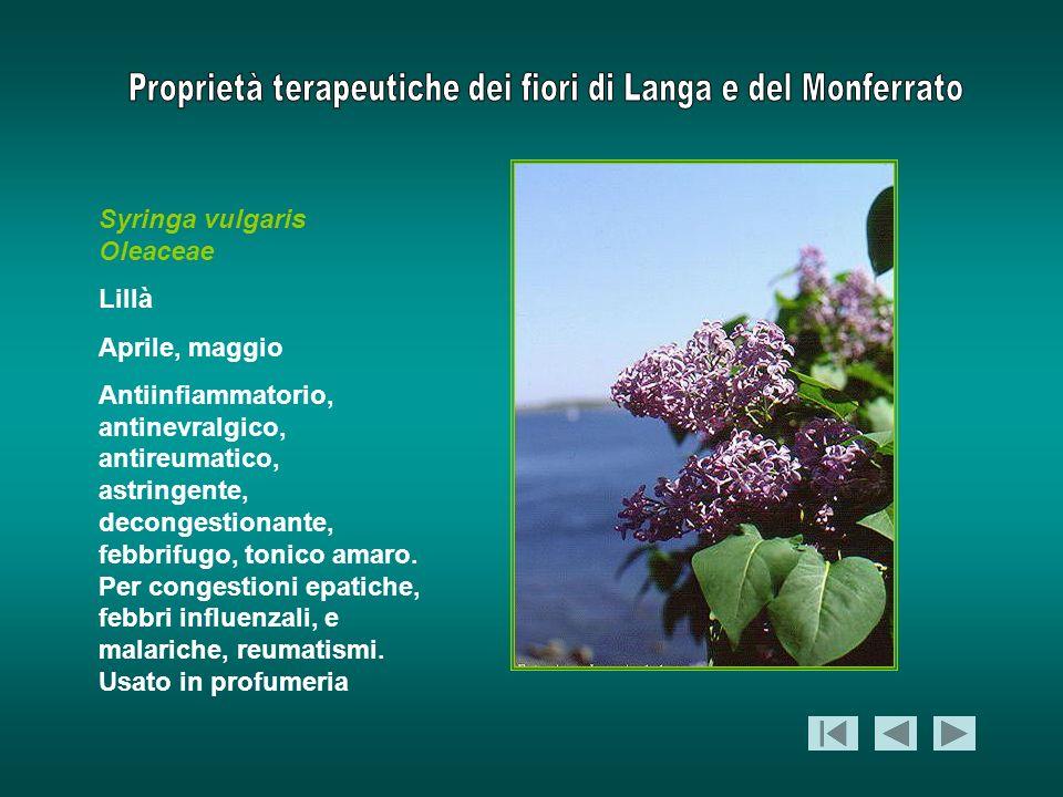 Syringa vulgaris Oleaceae