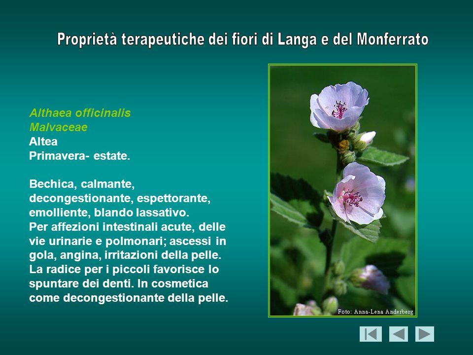 Althaea officinalisMalvaceae. Altea. Primavera- estate. Bechica, calmante, decongestionante, espettorante, emolliente, blando lassativo.
