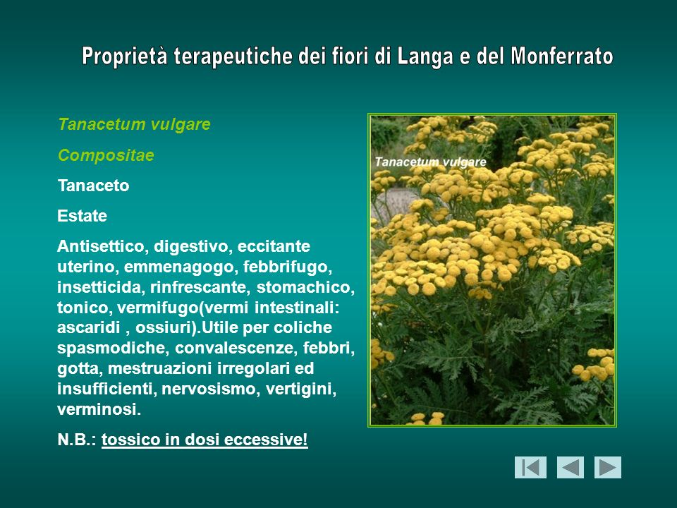 Tanacetum vulgare Compositae. Tanaceto. Estate.