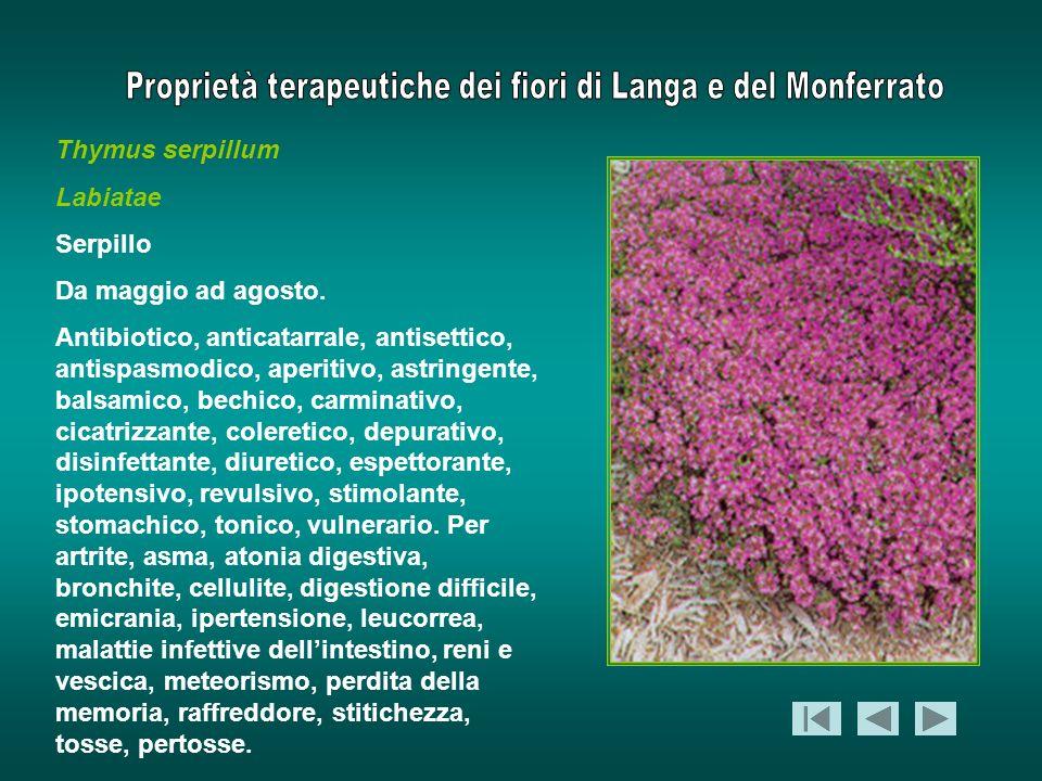 Thymus serpillum Labiatae. Serpillo. Da maggio ad agosto.