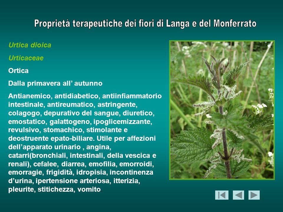 Urtica dioica Urticaceae. Ortica. Dalla primavera all' autunno.