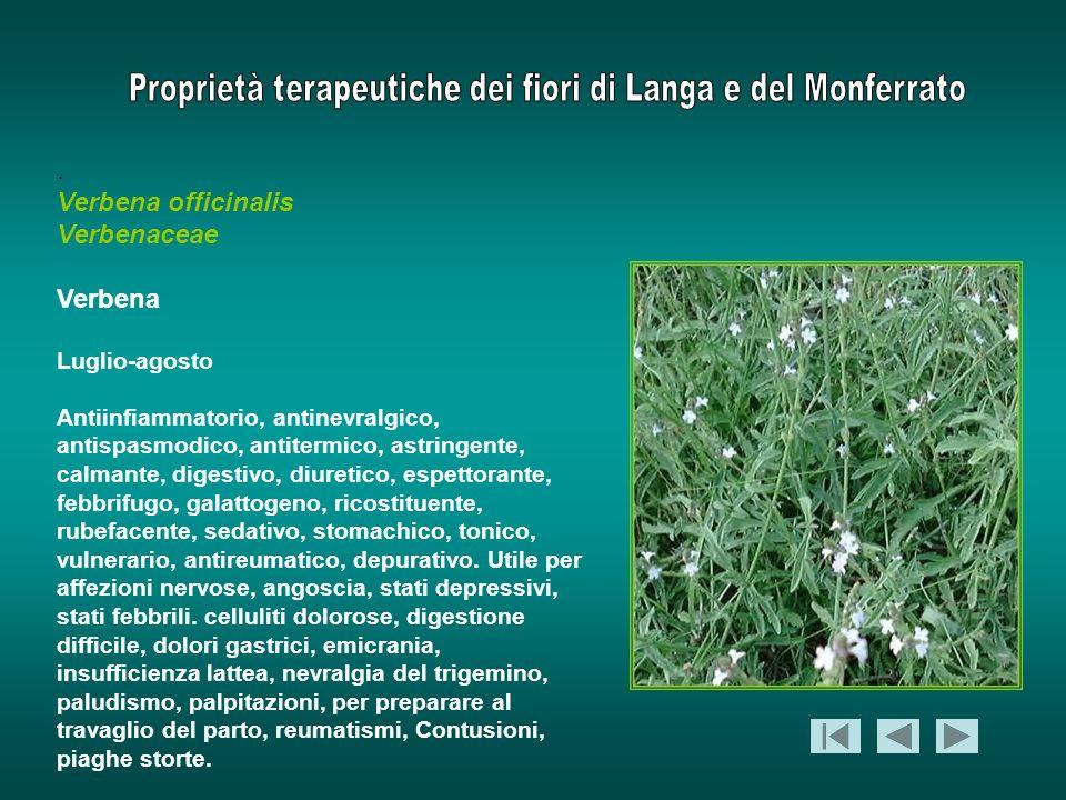. Verbena officinalis Verbenaceae Verbena Luglio-agosto