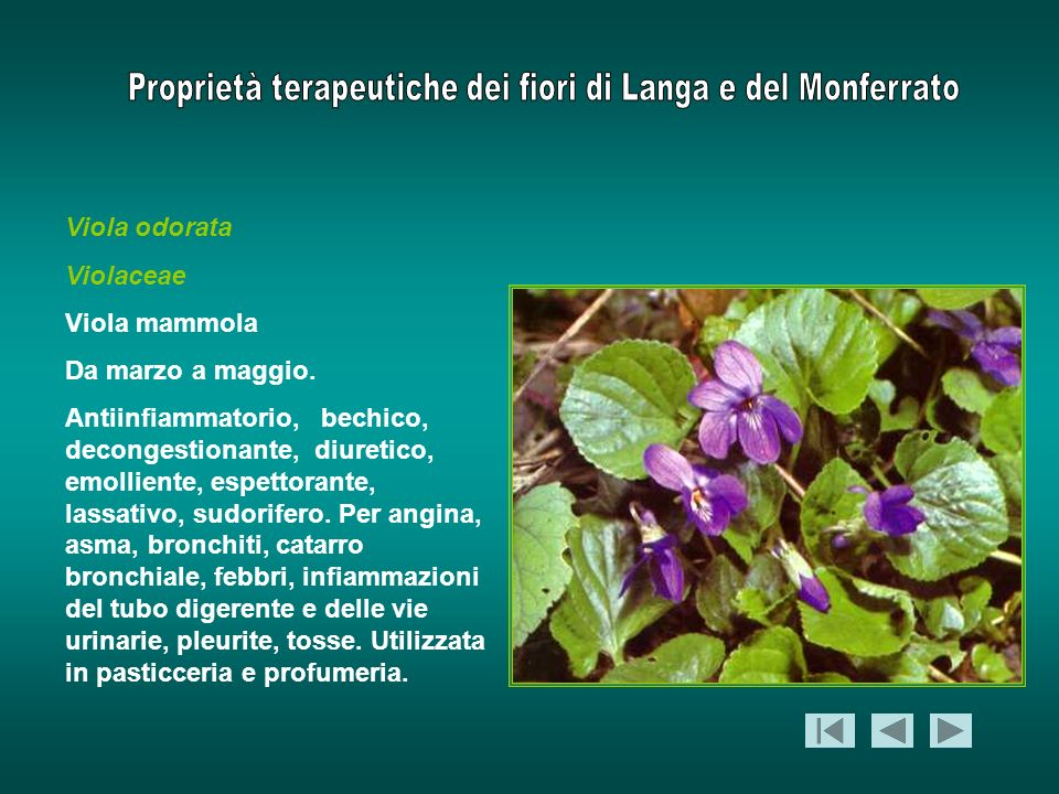 Viola odorata Violaceae. Viola mammola. Da marzo a maggio.