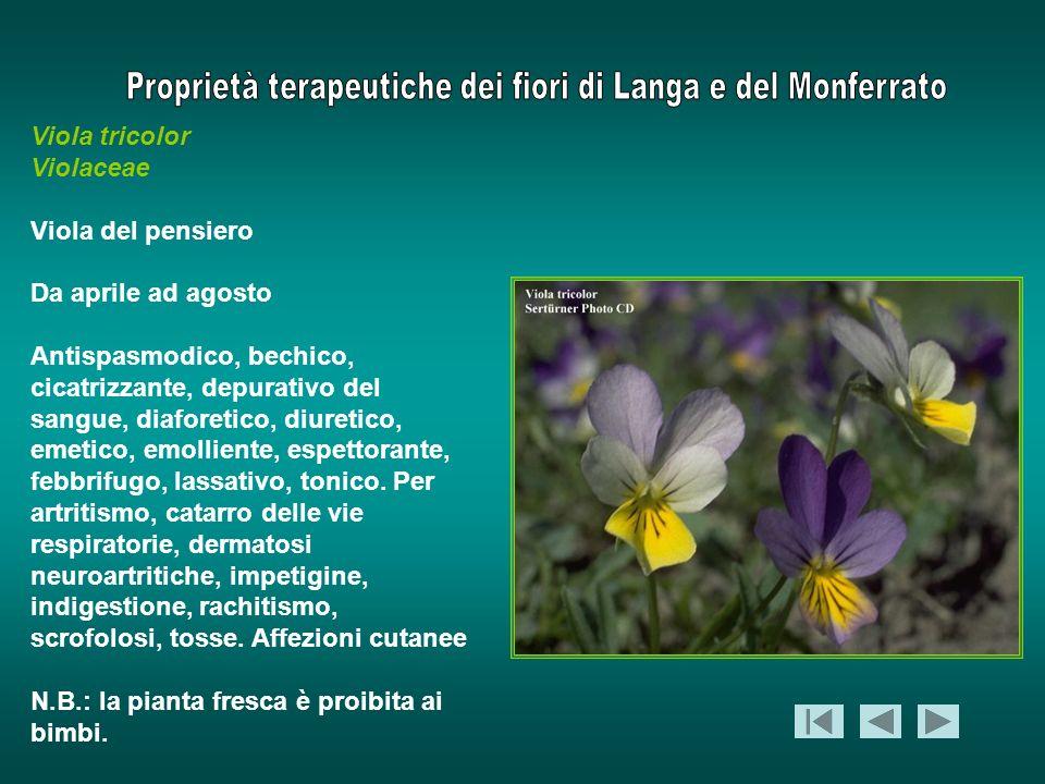 Viola tricolor Violaceae. Viola del pensiero. Da aprile ad agosto.