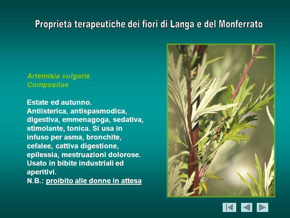 Artemisia vulgarisCompositae. Estate ed autunno.