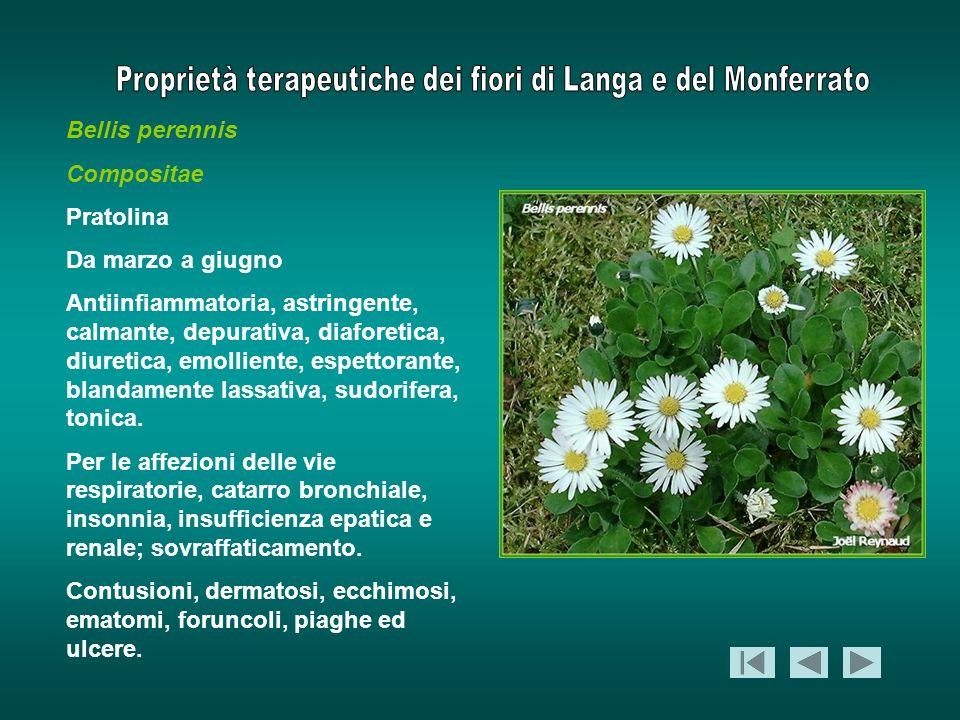 Bellis perennis Compositae. Pratolina. Da marzo a giugno.