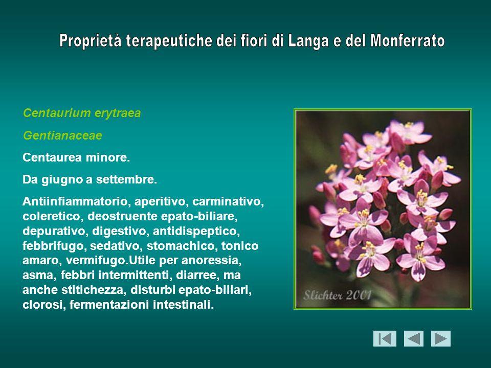 Centaurium erytraea Gentianaceae. Centaurea minore. Da giugno a settembre.