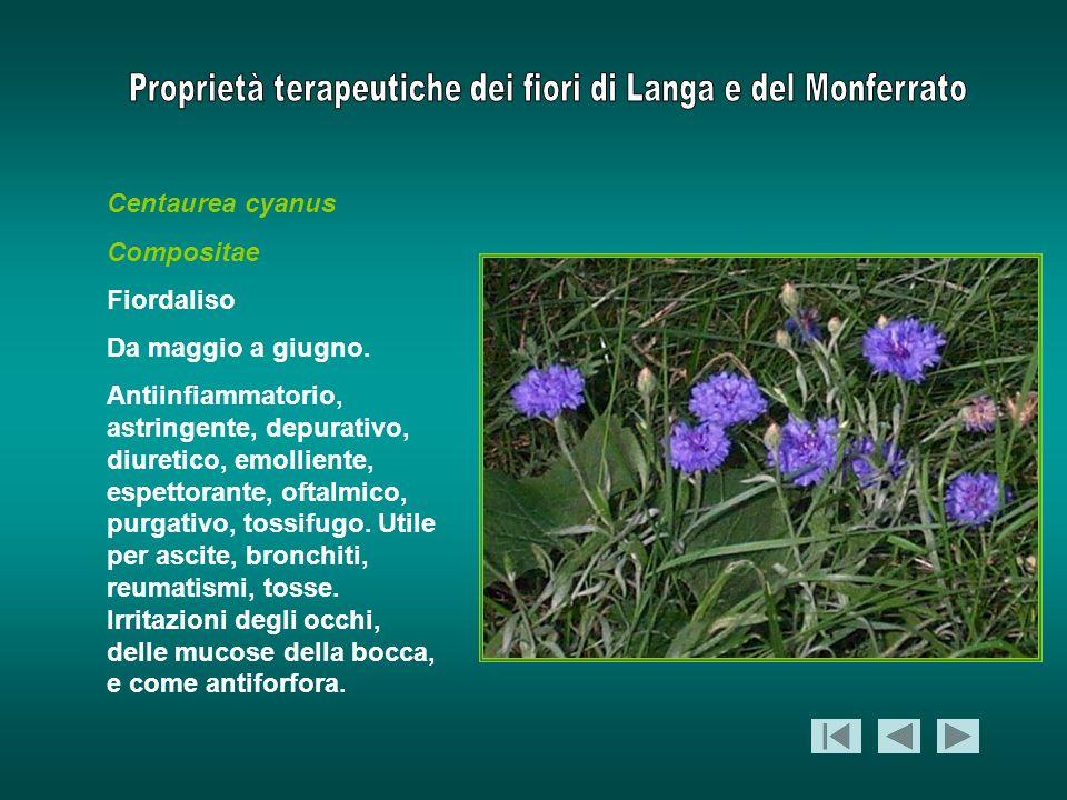 Centaurea cyanusCompositae. Fiordaliso. Da maggio a giugno.