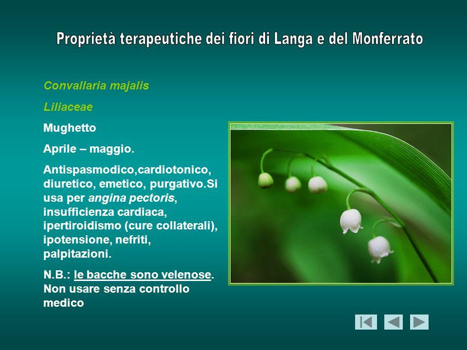 Convallaria majalis Liliaceae. Mughetto. Aprile – maggio.